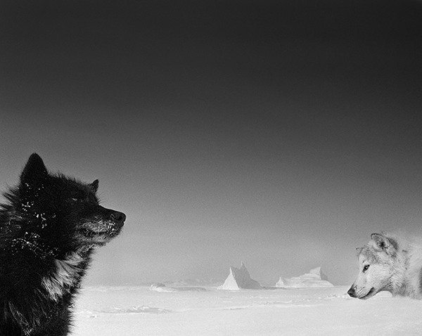 Ragnar Axelsson Arctic Heroes A Tribute to the Sled Dogs of Greenland